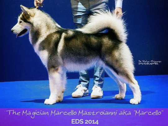 Marcello - The Magician Kennel