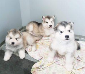 Cuccioli Alaskan Malamute